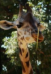 Giraffe (ganessas) Tags: color natura giraffe h9 miradas jirafa supershot posaparami