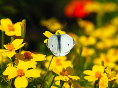 A Butterfly is a Flying Flower .. (GirLy  GirL) Tags: flowers summer orange white flower green nature colors beautiful beauty yellow closeup butterfly garden gg spotted 2007 d80 nikond80 aplusphoto