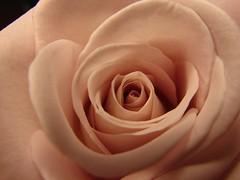 blooming rose (Brian A Petersen) Tags: california pink macro nature beauty rose god brian sony petal creation h2 petersen bpbp brianpetersen brianapetersen