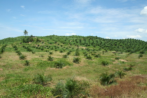 palm oil plantation by angela7dreams, on Flickr