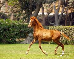 Promesa (Marcos GP) Tags: horse peru caballo dance lima baile galope marcosgp haciendatrescaas notosil