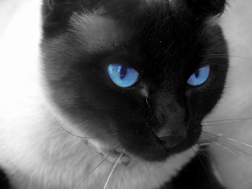A Cat with blue eyes.