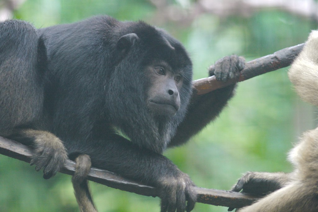 Two Black Monkeys Male Black Howler Monkey With