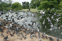 Pigeons in flight in Regent's Park