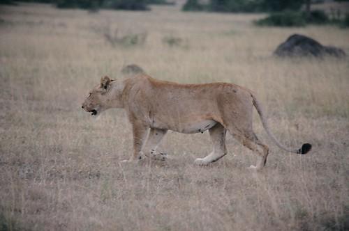 Uganda - QENP Female Lion  On the Move