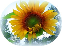 flowers 015 (donnarae1) Tags: sunflower picnik