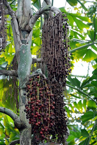 Berries on a palm tree