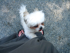 IMG_3865.JPG (Chiptography) Tags: dog marzipan maltzu