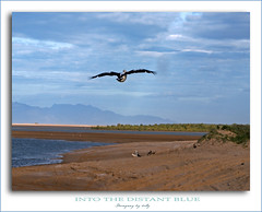 Into the Distant Blue (fotofantasea) Tags: ocean blue sky beach nature water birds animals fauna clouds landscape flying sand photographer wildlife shoreline australia wallart pelican driftwood photograph frame coastline 58 naturesfinest sonya100 anawesomeshot infinestyle diamondclassphotographer excellentphotographerawards auselite alvabeach hollykempe