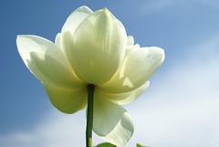 white lotus flower (Crystalline Radical) Tags: whiteflower lotus bluesky lotusflower
