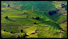 Les champs du Madeloc ([Lapicero]) Tags: france frança vineyards collioure francia portvendres unmanipulated colliure viñedos vinyes cotlliure tourdumadeloc