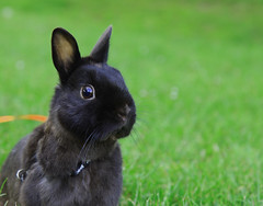 (Geophin) Tags: park pet black cute rabbit bunny bunnies netherlands dwarf mambo small adorable cage daily cleaning cuddly netherland friendly rabbits