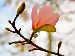 Magnolia (Hopeisland) Tags: flowers plants mountain nature gold coast flora australia explore queensland magnolia 2010 tamborine     explored