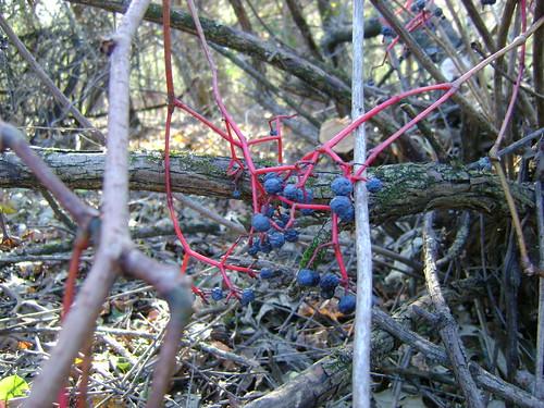Vine & Berries