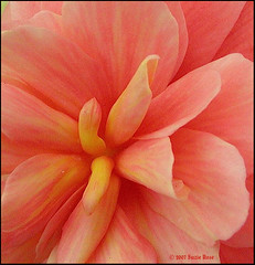 An O'Keefe Moment: #196 Explore 6-1-07 (Kazooze) Tags: flowers nature explore georgiaokeefe naturesfinest tuberousbegonia blueribbonwinner srj colorphotoaward ~elegance~ diamondclassphotographer flickrdiamond