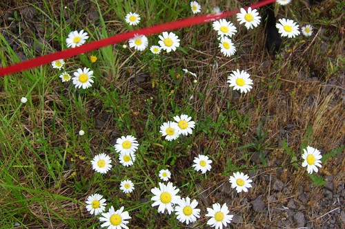 Daisies and Red Leash