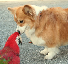i give u a kiss my rani love (sansanparrots) Tags: friends red dog bird corgi kiss sweet pals macaw chowtime kaleycorgi ranimacaw
