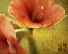 Trumpets (IrenaS) Tags: red flower texture nature yellow gold flora amaryllis questfortherest flowerotica