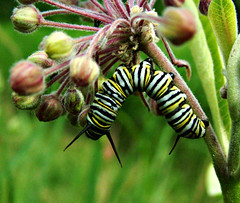 Welcome Back (glantine) Tags: light color colour texture composition wow caterpillar lumiere monarch acrobat bienvenue milkweed welcomeback tone couleur chenille cheznous monarque i500 asclepiade asclpiade interestingness473july72007
