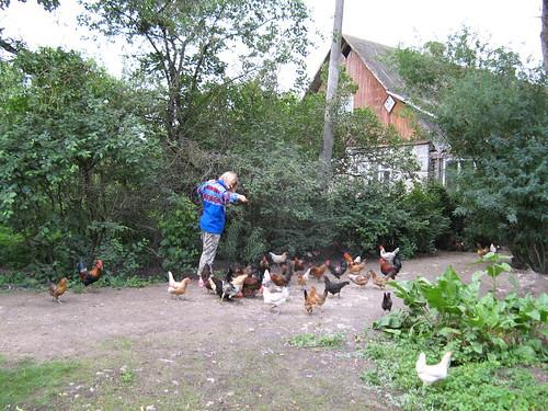 Feeding the chicken