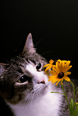 Pet Cat Inspecting Flowers (lennyjames57) Tags: pet flower animal blackbackground daisies cat flora feline smell sniff curious concept sniffing curiosity smelling browneyedsusan checkingout roomfortext