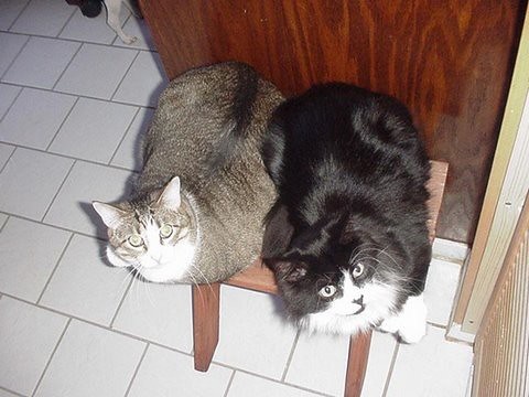 black and white cat breed. The lack and white cat is