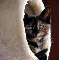 coco (damselfly58) Tags: cat furry kitten feline funny tortoiseshell tortie cc100 bestofcats superbmasterpiece flickrelite boc0807