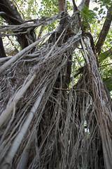Banyan Tree (Image Gratification) Tags: northernterritory banyantree