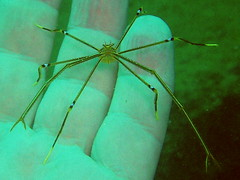 arrow crab () or Chirostylus ortmanii () #0280 (Nemo's great uncle) Tags: geotagged underwater crab diving sealife arrow izu koganezaki  arrowcrab  westizu  chirostylus dolichopus  ortmanii  shizuokaprefecture   chirostylusortmanii geo:lat=34843106 geo:lon=138762866 chirostylusdolichopus
