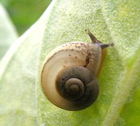 snail under calatropis leaf Bannerghatta 180807