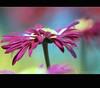 Fleurs en folie ! (Mô_ (Michelle)) Tags: flower macro nature fleur specnature môphotography fleursenfolie