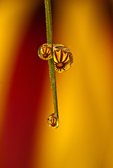 Morning Dew Drop Reflecting Gazania Flower (File:MG_5491) (Beto Frota) Tags: uk inglaterra morning autumn red england flower color verde green london love nature colors grass gua cores freedom reflecting leaf europa europe unitedkingdom amor natureza flor liberdade drop h2o vermelho capim autumncolors dew londres gazania folha cor outono morningdew reinounido orvalho manha morningdewdrop folhadamacieira reflectinggazaniaflower gotaswaterdropletswater