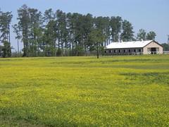 Yellow (VA Tree-hugger) Tags: virginia buttercup ranunculus