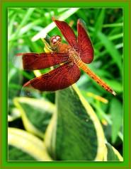 Garden visit from Red Grasshawk dragonfly (Neurothemis fluctuans)