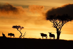 Masai Mara Sunrise (Lyndon Firman) Tags: africa sunset sunrise bravo kenya safari vulture wildebeest masaimara naturesfinest parkstock supershot magicdonkey outstandingshots flickrsbest 200viewswinner wng impressedbeauty superbmasterpiece goldenphotographer searchandreward jalalspagesmasterpiecealbum invitedpro