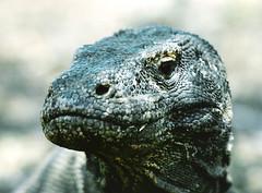 Komodo Dragon  - Komdo National Park, Indonesia