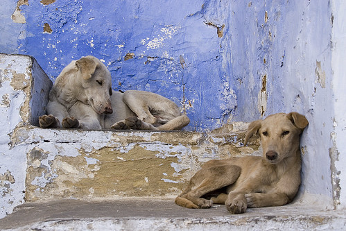 Street dogs, Udaipur by Dey