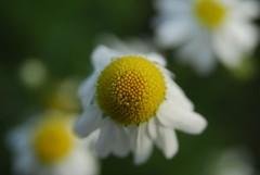 RU_200708_Mahlberg_030_Web (boleroplus) Tags: macro fleur horizontal jaune vert allemagne blanc paquerette freiolsheim badwürtemberg