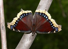 Mourning Cloak (squatchman) Tags: blue trees macro nature outdoors butterflies insects bugs doorcounty flyinginsects thenatureconservancy insectsandspiders insectsspiders doorcountywisconsin wunderground anythingnature 10millionphotos insectphotography beautifulbutterflies butterflybeauty macrophotosnolimits flickrinsects butterflygallery butterfliesofwisconsin doorcountycompass