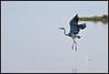Grey Heron Pulicat takes off (Hari L Ratan) Tags: nature birds chennai pulicat aplusphoto worldclassnaturephotos flickrenvythebesttmni