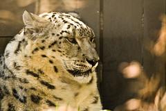 Waiting for his friend!! (Oli-Oviyan) Tags: wild canada calgary animals zoo leopard alberta snowleopard calgaryzoo wildanimals