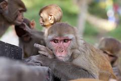 Grumpy monkey, Swimbu, Nepal (H_M_A) Tags: nepal light mountain mountains trekking asia with drawing sony kathmandu nepalese alpha ltd sherpa annapurna 900 nepali gurung drawingwithlight a900 northasia gurkah sonyalpha900 sony900
