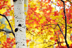 Aspen trunk and maple leaves bokeh (houstonryan) Tags: red white black art leaves yellow print photography gold golden utah photo maple photographer bokeh ryan houston photograph bark trunk aspens aspen scars quaking quakie quakey utahn houstonryan