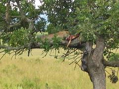 Leopardo comiendo gacela en Masai Mara / Leopard eating gazelle at Masai Mara (Ismaelico) Tags: africa tree animal leopardo leopard mara planet prey gazelle kenia masai presa gacela