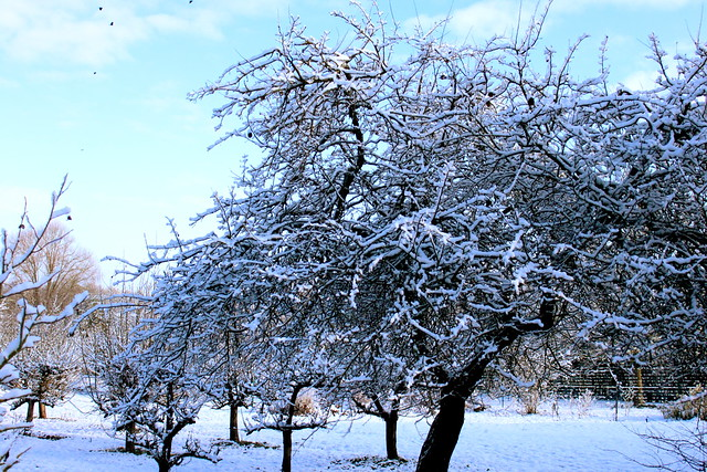 Cognassier sous la neige
