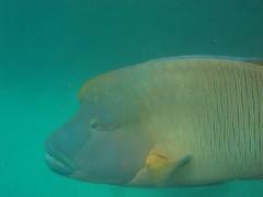 Wally (ClaudiaLx) Tags: sea fish water gua mar australia peixe snorkelling wally greatbarrierreef napoleonwrasse maoriwrasse claudialx barreiradecoral jalalspagesmarinelifealbum