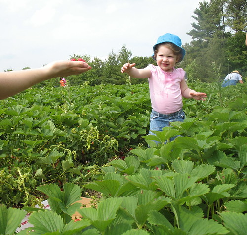 Picking Strawberries 5