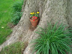 Flowerpot nestly in a tree hollow (Ann Althouse) Tags: flowers tree flowerpot