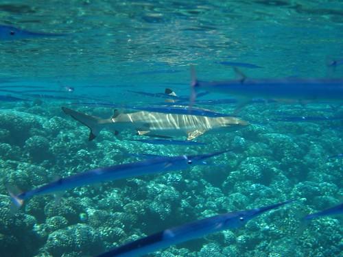 cruising the reef, Tetmanu