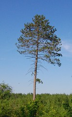 Large red pine tree. Click for a better view.